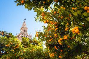 Elk ebinnentuin van de vroegere moskeeen hebben een Plaza de Naranja, dus sinasappelbomen